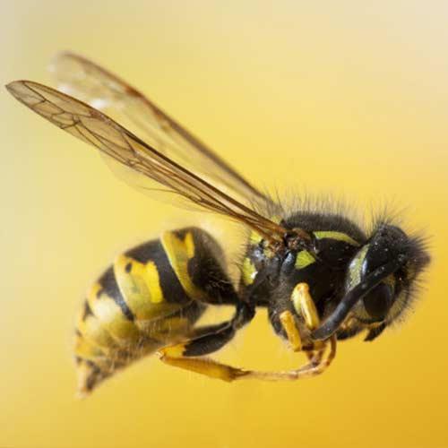 ویژگی های تعجب برانگیز زنبور های عسل