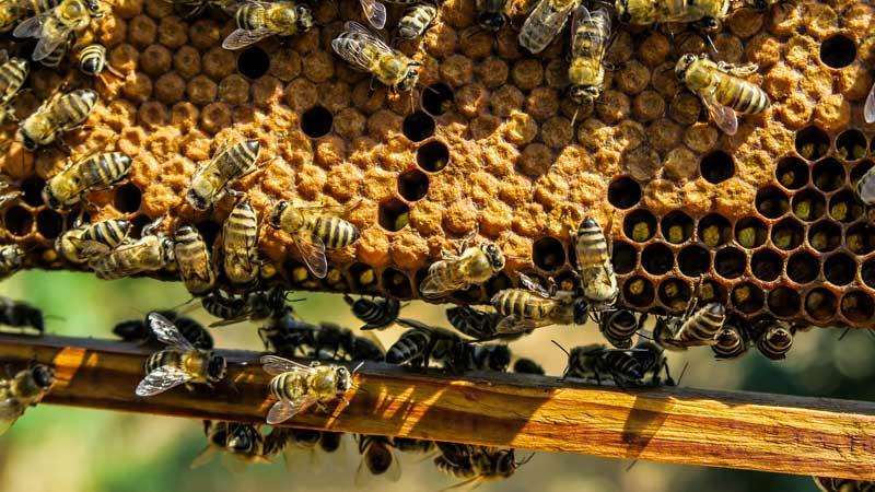 نحوه ساخت و تهیه موم زنبور عسل و خواص موم عسل
